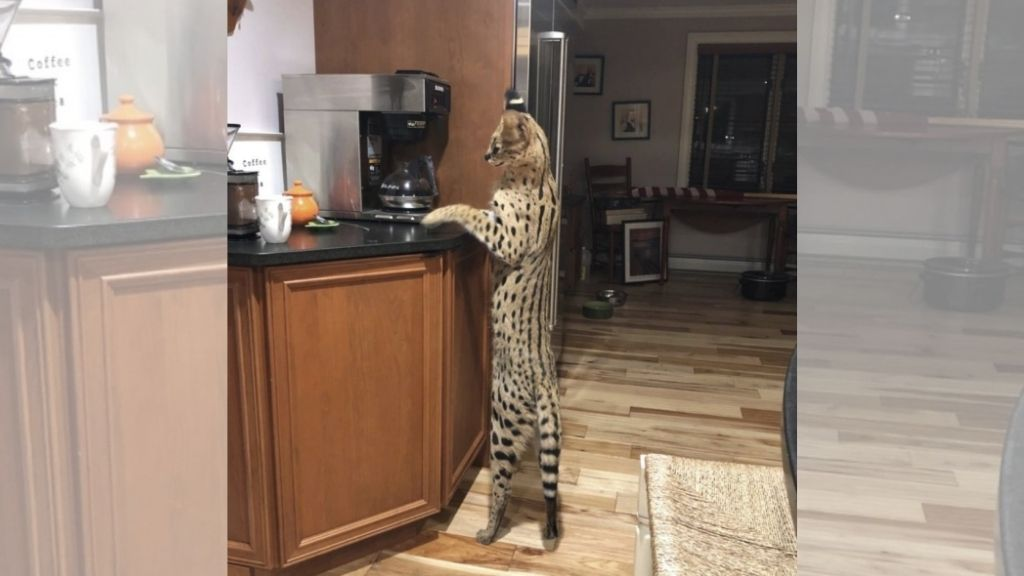 In this photo provided by Dean King, Spartacus stands up to look at a coffeemaker in his home in Merrimack, New Hampshire. (Photo: Lisa King via AP)