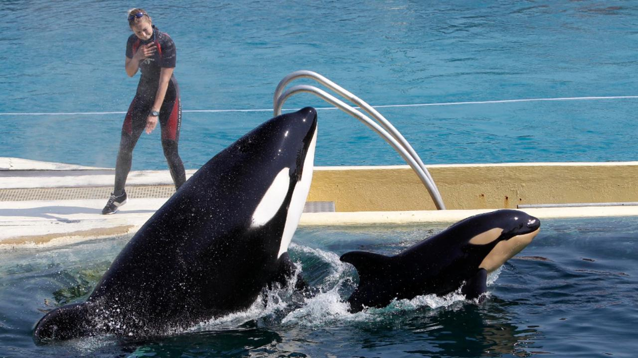 "In this April 18, 2011 file photo, killer whale ""Wikie"", jumps with its baby, a female born one month ago at the Marineland aquatic park in Antibes, southeastern France. (AP Photo/Lionel Cironneau, File)"