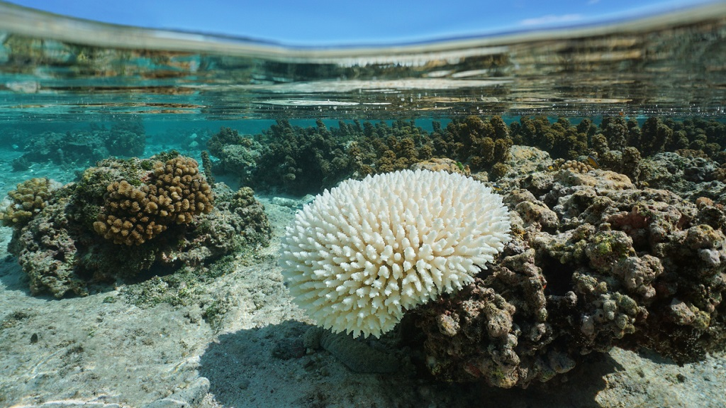 Photo: iStock photo of beached Acropora coral in shallow water, due to El Nino, Pacific ocean, French Polynesia.