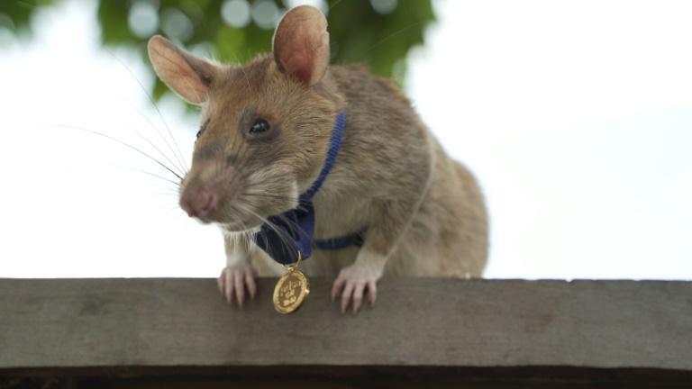 Magawa, un rat géant africain détecteur de mines au Cambodge, récipiendaire de la médaille d'or de l'association britanique de protection des animaux PDSA. afp.com - Handout
