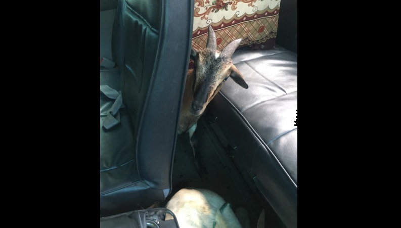One of eight stolen goats which were found in a bus that a police team intercepted in Yallahs, St Thomas on Tuesday, September 15.