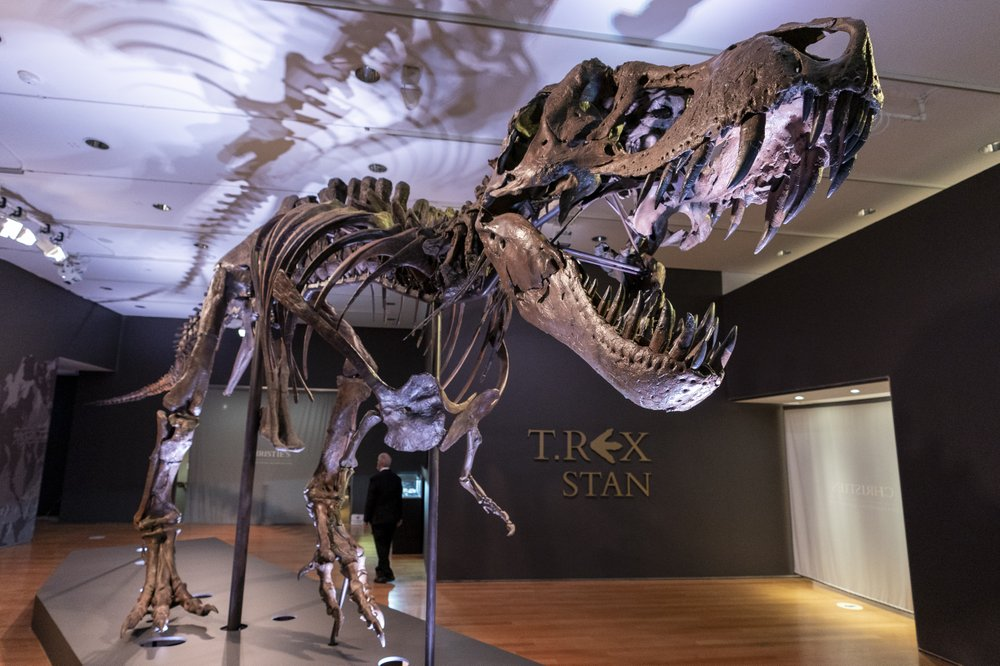 Stan, one of the largest and most complete Tyrannosaurus rex fossil discovered, is on display at Christie's in New York. (AP Photo/Mary Altaffer)