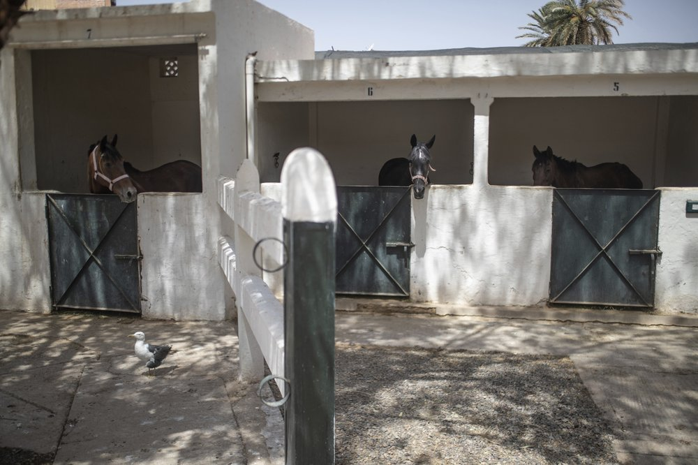 Starvation looms for Morocco's horses as tourism collapses. (AP photo)