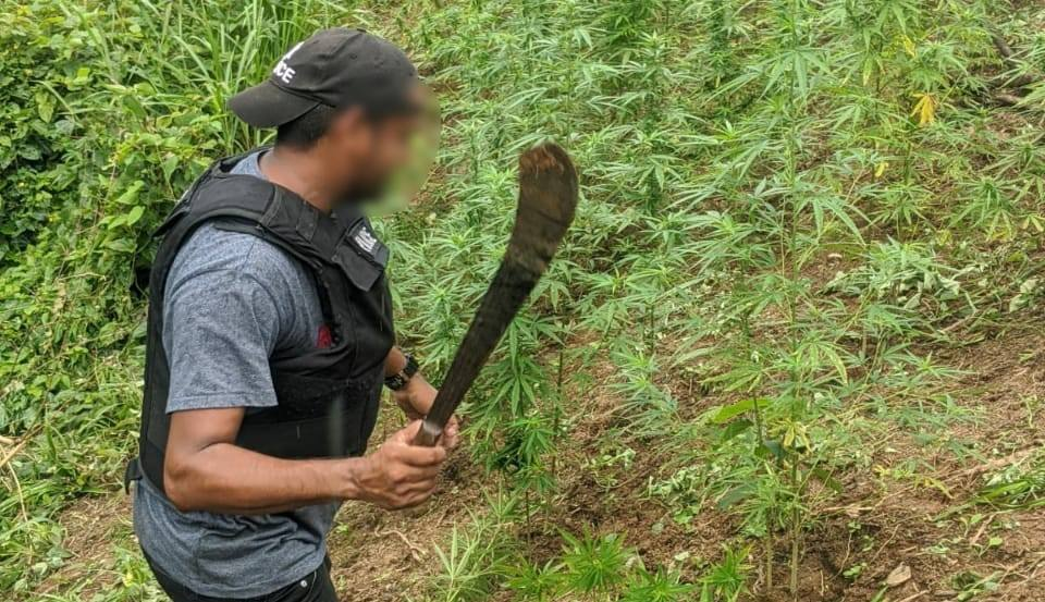 A police officer looks on at a marijuana field in Maracas Bay.