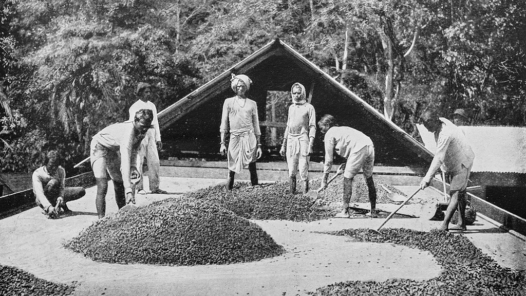 Photo: Antique photograph of the British Empire: Drying Cocoa in Trinidad. Photo: iStock