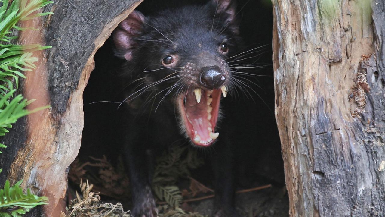 In this December 21, 2012, file photo, Big John the Tasmanian devil growls from the confines of his tree house as he makes his first appearance at the Wild Life Sydney Zoo in Sydney. (AP Photo/Rob Griffith, File)