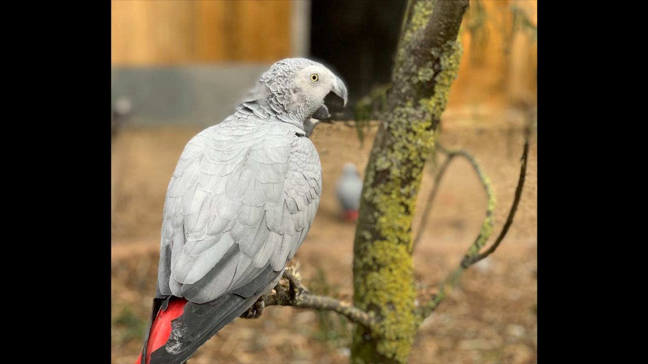 This photo taken on Saturday Sept. 26, 2020 and issued by Lincolnshire Wildlife Park shows an African grey parrot at Lincolnshire Wildlife Centre in Friskney, England, one of five who were separated as keepers say they were encouraging each other to swear.  (Steve Nichols/Lincolnshire Wildlife Park via AP)