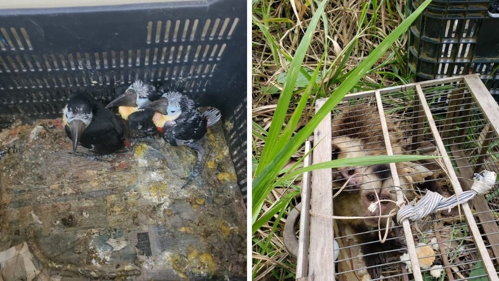 Photo: Toucans and monkeys crammed into cages for trafficking were rescued by the TTPS. Photo: TTPS