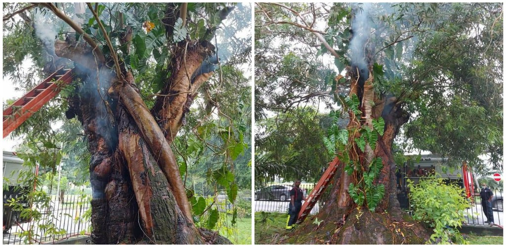 The tree was planted in 1910. (Photo: Friends of Botanic Gardens of Trinidad and Tobago)