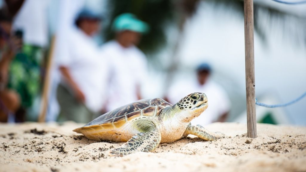 The Centre has released 66 head-started turtles as well as 1361 hatchlings so far this year