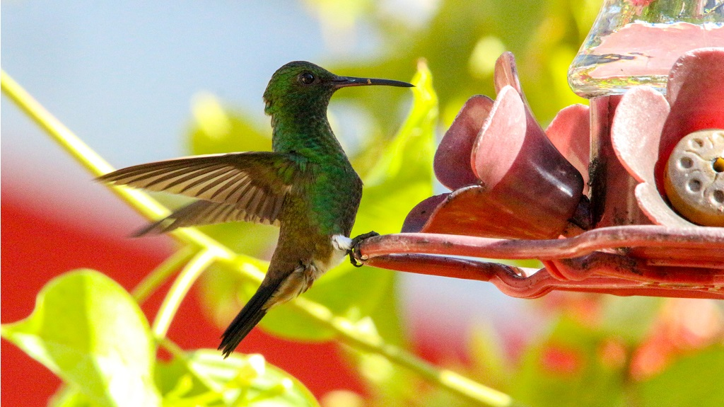 Photo: A Copper-Rumped Hummingbird. Photo by Elizabeth Seebaran.