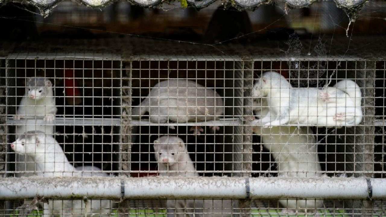 In this Friday, October 9, 2020 file photo, minks in a farm in Gjoel in North Jutland, Denmark. (Mads Claus Rasmussen/Ritzau Scanpix via AP, File)