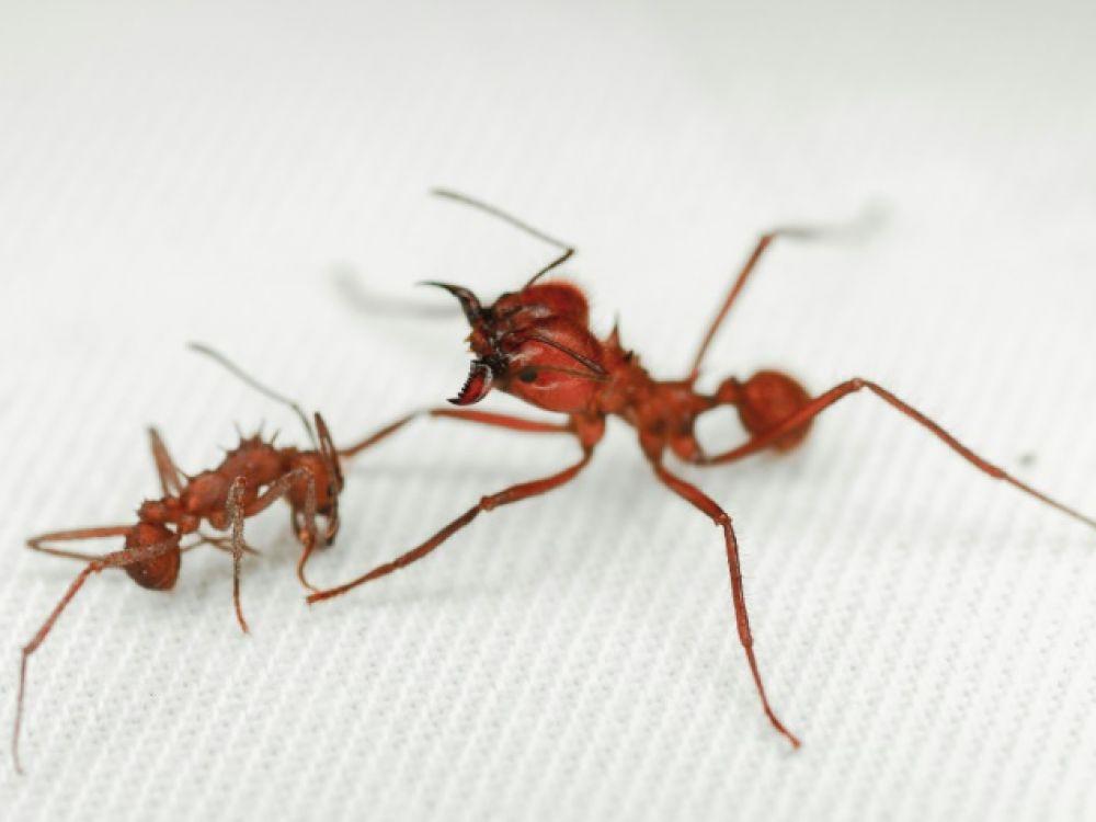 Une fourmi travailleuse Acromyrmex echinatior (G) affronte une Atta Cephalotes, le 23 novembre 2020 à l'université de Wisconsin-Madison dans le Wisconsin 23 novembre 2020