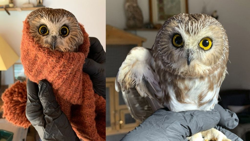 ​​​​​​​This photo provided by the Ravensbeard Wildlife Centre shows a Saw-whet owl at the facility in Saugerties, New York on Wednesday. A worker helping to get the Rockefeller Center Christmas tree in New York City found the tiny owl among the trees massive branches on Monday. (Lindsay Possumato/Ravensbeard Wildlife Center via AP)