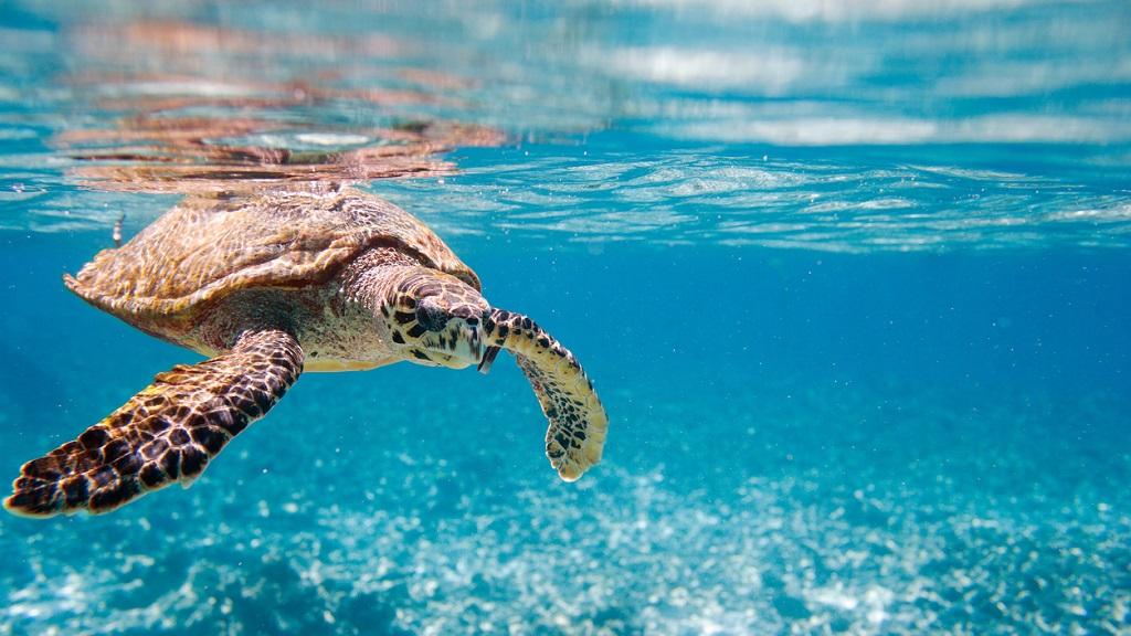 Photo: A Hawksbill turtle. Photo via iStock.