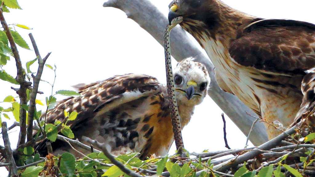 This June 5, 2009, file photo shows a Redtail hawk feeding a snake to one of her young ones nested at the Rocky Mountain Wildlife Refuge in Commerce City, Colorado. Photo: AP Photo/Ed Andrieski/File