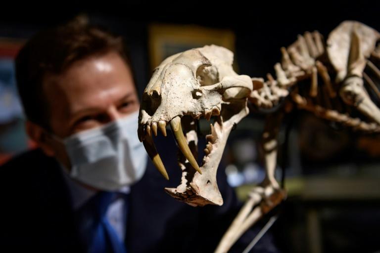 """Un fossile de """"tigre à dents de sabre"""" aux enchères à Genève"""
