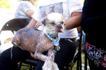 Tee Tee prepares to compete in the World's Ugliest Dog Contest at the Sonoma-Marin Fair in Petaluma, Calif., Friday, June 21, 2019. (AP Photo/Noah Berger)