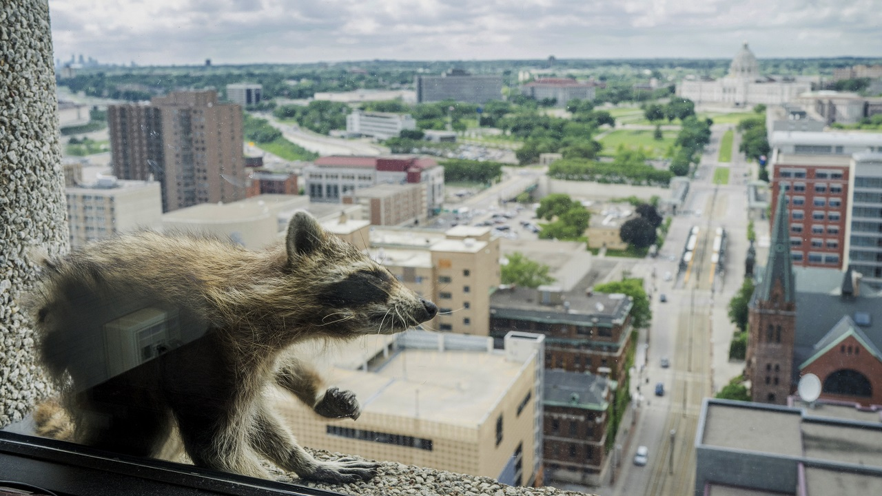 Raccoon captured after making daring climb up Minnesota building