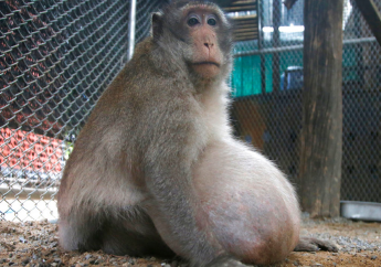 """A wild obese macaque, named """"Uncle Fat"""" who was rescued from a Bangkok suburb, sits in a rehabilitation center in Bangkok, Thailand, Friday, May 19, 2017. (AP Photo/Sakchai Lalit)"""
