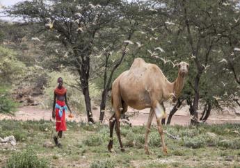 In this photo taken Thursday, Jan. 16, 2020, a Samburu boy walks behind his camel as a swarm of desert locusts fills the air, near the village of Sissia, in Samburu county, Kenya. (AP Photo/Patrick Ngugi)