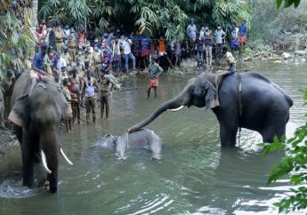 This May 27, 2020 photo show elephants pulling a 15-year-old pregnant wild elephant who died after suffering injuries, in Velliyar River, Palakkad district of Kerala state, India. (AP Photo/Rajesh U Krishna)