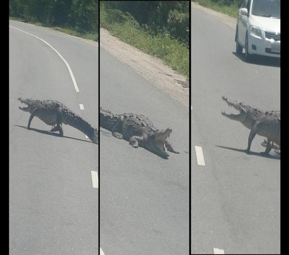 Photos purportedly show a crocodile walking across the Hellshire main road in St Catherine. (PHOTOS: Facebook)