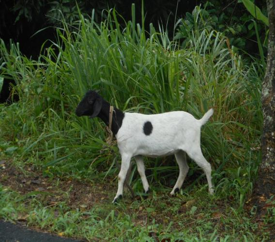 This goat, which belongs to Linus Francois, managed to escape the vicious attack of the dogs