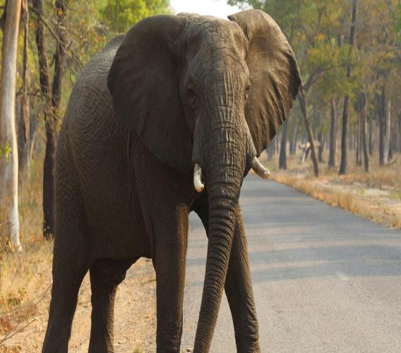 In this Oct. 1, 2015, file photo, an elephant crosses a road at a national park in Hwange, Zimbabwe. (AP Photo/Tsvangirayi Mukwazhi, File)