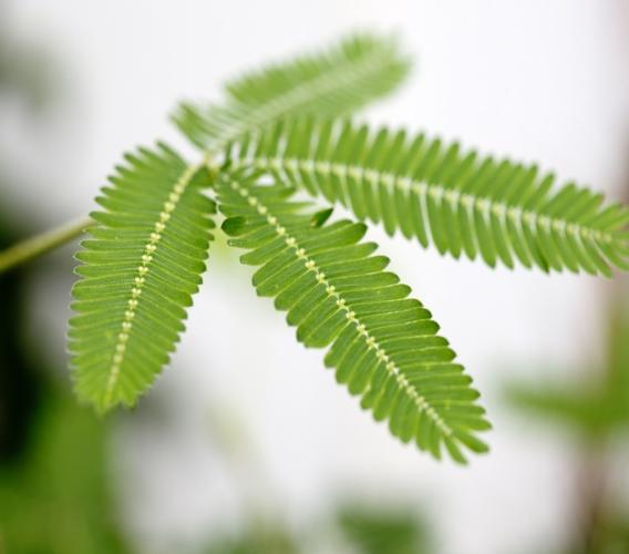 The mimosa pudica (shame old lady) plant.