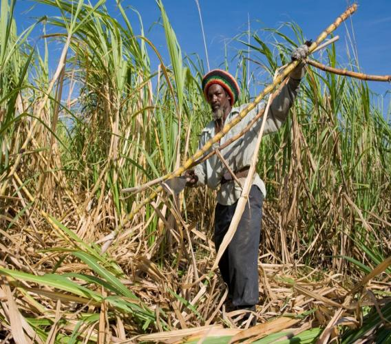Barbadian sugar worker harvesting crops at  Groves, St Phillip. Photo: iStock/isitsharp