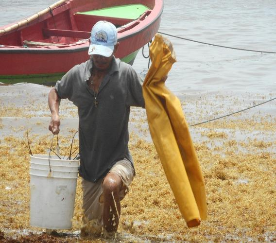 A fisher makes his way to shore through sargassum seaweed in Micoud