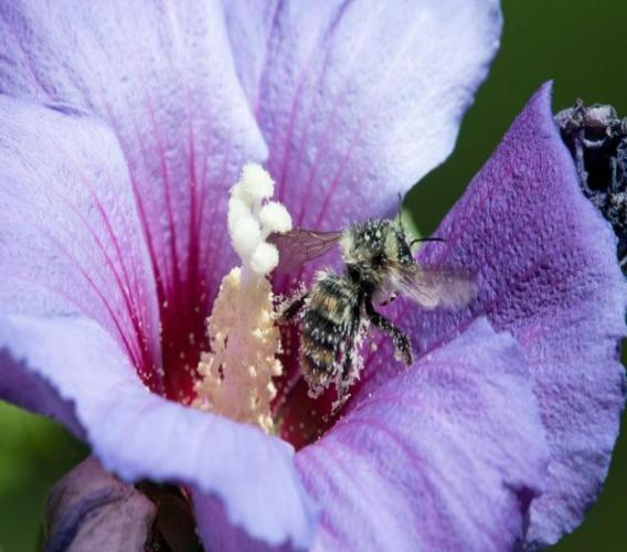 Une abeille dans une fleur d'hibiscus, le 25 juillet 2020 à Ludwigsburg, en Allemagne. Les ondes des téléphones portables pourraient jouer un rôle dans la mortalité des insectes, selon une étude publiée le 17 septembre 2020 afp.com - THOMAS KIENZLE