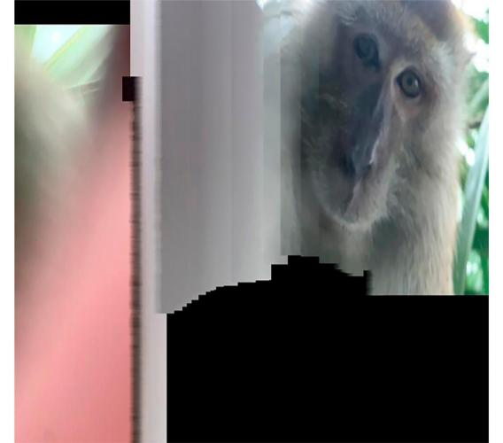 This photo taken with panorama mode but the phone wasn't turned, and provided by Zackrydz Rodzi shows a monkey which took a selfie in Batu Pahat in the southern state of Johor, Malaysia on Saturday, September 12, 2020. (Zackrydz Rodzi via AP Photo)