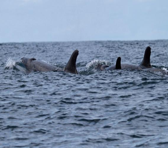 Pod of orcas; stock photo
