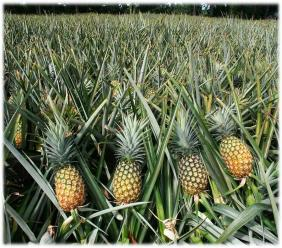 Nearly 200 pineapple farmers learntways to achieve maximum yields, while lowering production costs.