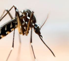 The Asian tiger mosquito or Aedes albopictus.