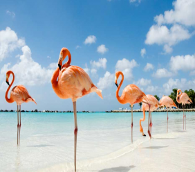 A few inhabitants of Flamingo Island, a spit of land off the main island of Aruba that's privately owned by the Renaissance Hotel.