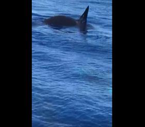 Screenshot of a video purportedly showing killer whales off the coast of Jamaica.