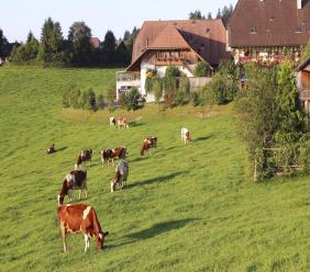 Dairy cows graze on grass in the Emmental region of Switzerland.  (AP Photo/Mark D. Carlson, File)