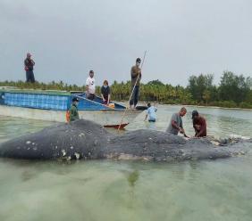 In this undated photo released by Akademi Komunitas Kelautan dan Perikanan Wakatobi (Wakatobi Marine and Fisheries Community Academy or AKKP Wakatobi), researchers collect samples from the carcass of a beached whale at Wakatobi National Park in Southeast Sulawesi, Indonesia.