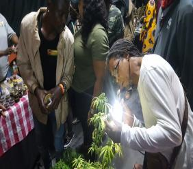 A man inspects a ganja plant at the Herb Cure lounge at the recently-held Rebel Salute reggae festival. (PHOTO: Marlon Reid)