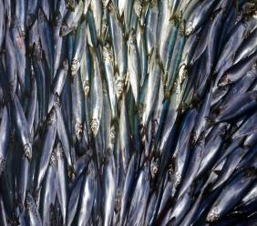 In this Wednesday, July 8, 2015 file photo, herring are unloaded from a fishing boat in Rockland, Maine. The international study used computer models to project that for every degree Celsius the world warms, the total weight of life in the oceans drop by 5%. (AP Photo/Robert F. Bukaty, File)