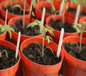 A nursery of tomato seedlings develop. (Photo: Pixaby)