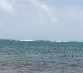 Sea moss farm at Boriel Beach