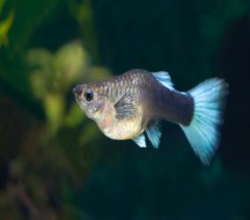 Photo: Guppy fish (Poecilia reticulata) via iStock.
