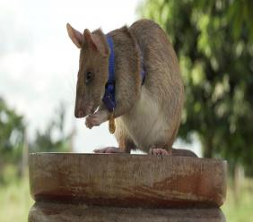 In this undated photo issued by the PDSA, People's Dispensary for Sick Animals, Cambodian landmine detection rat, Magawa is photographed wearing his PDSA Gold Medal, the animal equivalent of the George Cross, in Siem, Cambodia. (PDSA via AP)