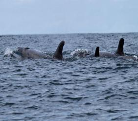 Pod of orcas; stock photo