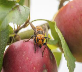 In this October 7, 2020, photo provided by the Washington State Department of Agriculture, a live Asian giant hornet with a tracking device affixed to it sits on an apple in a tree where it was placed, near Blaine, Wash. Washington state officials say they were again unsuccessful at live-tracking an Asian giant hornet while trying to find and destroy a nest of the so-called murder hornets.  (Karla Salp/Washington State Department of Agriculture via AP)