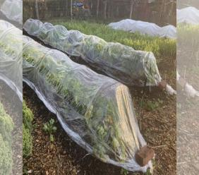 Photo showing an autumn vegetable garden in New Paltz, New York. Hardy vegetables such as lettuce, endive, and arugula can be harvested well into autumn even in northern gardens with some protection from 'tunnels' covered with clear plastic or row covers. (Lee Reich via AP)